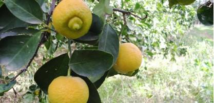 Lime douce