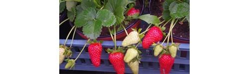 Plants  fraisier